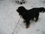 Our Bernese Mountain Dog lives for snow days!