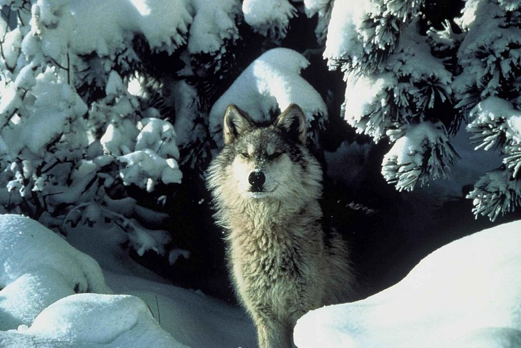 1280px-An_endangered_gray_wolf_peers_out_from_a_snow_covered_shelter